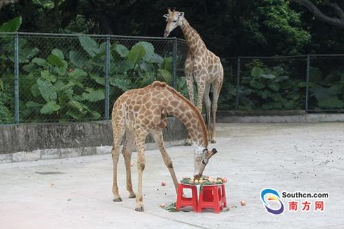 """深圳野生动物园长颈鹿""""520""""过生日 粉丝做蛋糕送祝福"""
